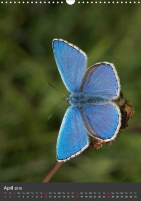 "From ""Adonis Blue Butterfly calendar"