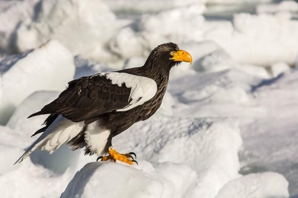 Thomas-Schwarz_Riesenseeadler auf einer Eisscholle